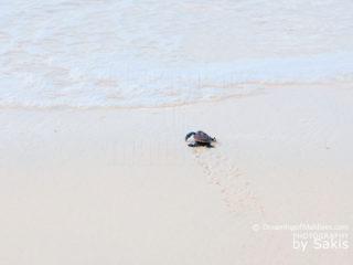 Bebe tortue marine marchant vers le lagon aux Maldives