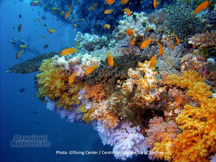 Coraux multicolores de l'Atoll Nord de Male