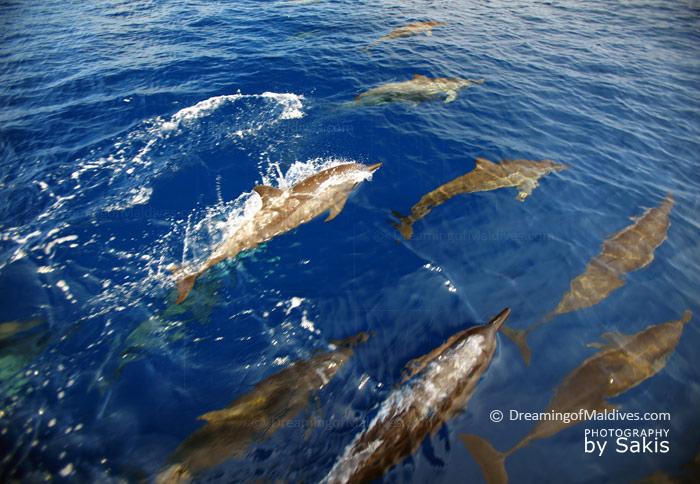 Dauphins des Maldives