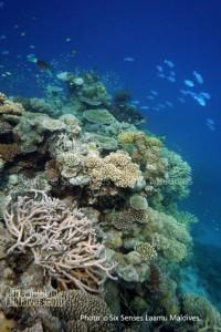 Les merveilleux récifs de Six Senses Laamu