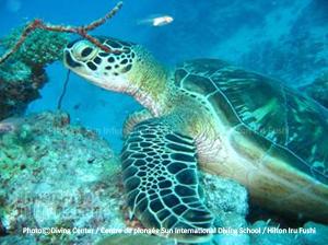 Tortue Humpback - Atoll de Noonu