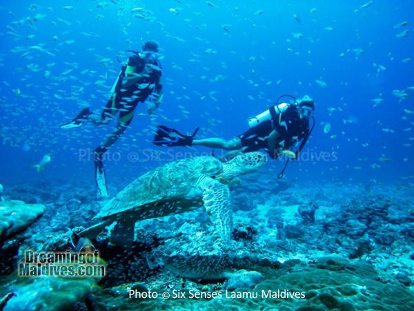 Tortue. Plongée au Six Senses Laamu – Atoll de Laamu