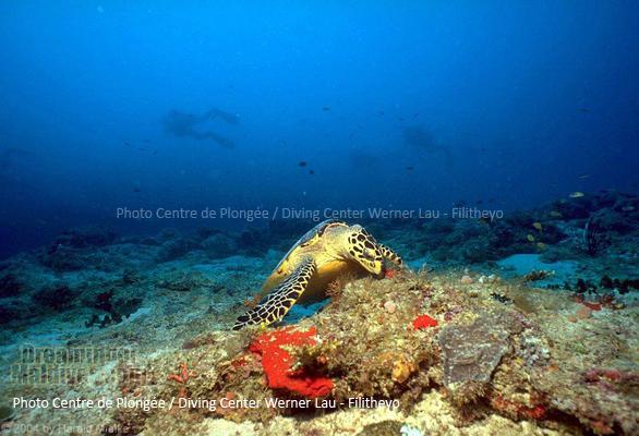 Tortue comme il y en a beaucoup sur les Récifs de Filitheyo....| Plongée Filitheyo Maldives