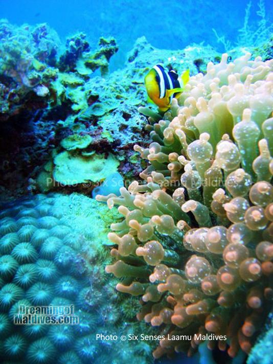Poisson Clown - Plongée au Six Senses Laamu – Atoll de Laamu
