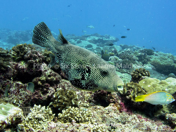 Poisson Globe - Plongée au Six Senses Laamu – Atoll de Laamu