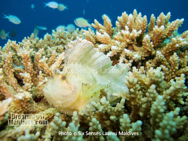 Poisson Scorpion - Plongée au Six Senses Laamu – Atoll de Laamu