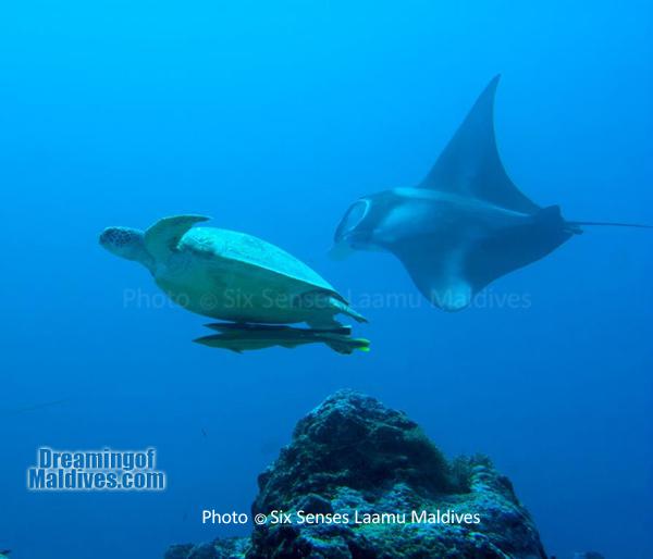 Une belle rencontre : Une Tortue ET une Manta- Plongée au Six Senses Laamu – Atoll de Laamu