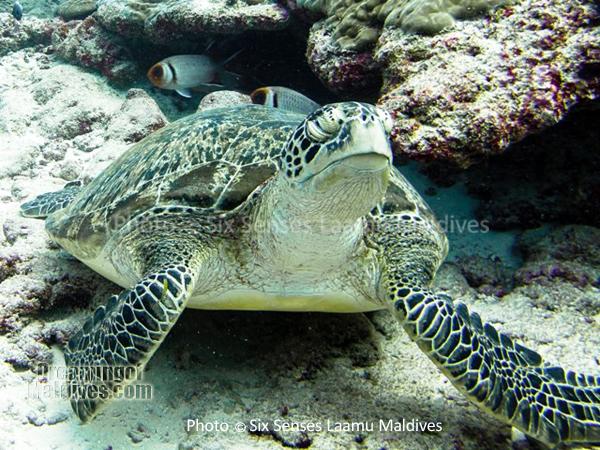 Tortue - Plongée au Six Senses Laamu – Atoll de Laamu