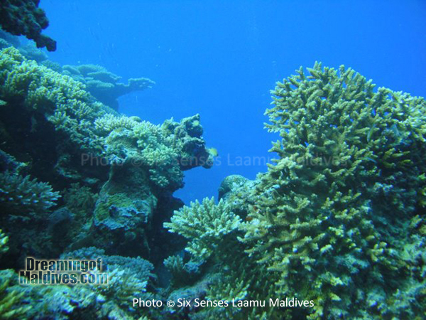 Corail dur, typique de l'Atoll- Plongée au Six Senses Laamu – Atoll de Laamu