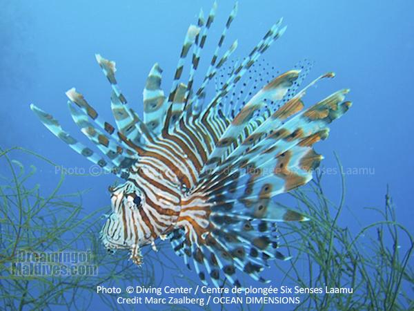 Poisson Lion - Plongée au Six Senses Laamu – Atoll de Laamu