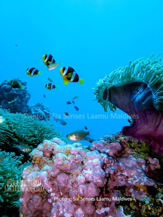 Poissons Clowns et Anemones - Plongée au Six Senses Laamu – Atoll de Laamu
