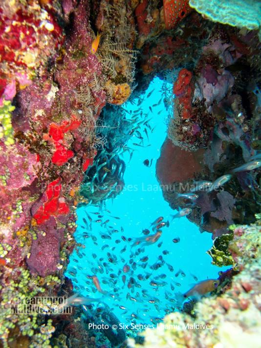 Poissons de Verre dans une superbe cavite corallienne - Plongée au Six Senses Laamu – Atoll de Laamu