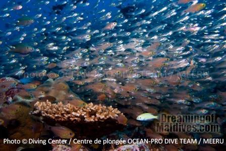 Poissons Papillons - Plongée à Meeru - Maldives