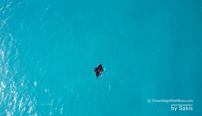 Une raie Manta nageant dans un lagon des Maldives. Vue du Ciel