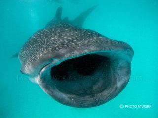 Requin Baleine . Maldives