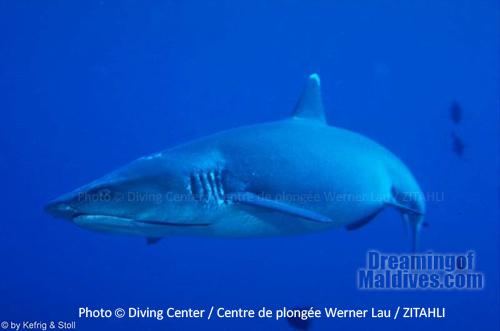 Plongée avec les requins dans l'Atoll de Noonu - Maldives