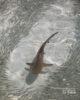 Jeune requin à pointe noire Maldives