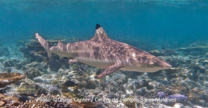 Le Requin de Recif a pointe Noire...Une rencontre assez habituelle lors d'une plongée ou d'un snorkeling dans l'Atoll Nord de Male et aux Maldives en general