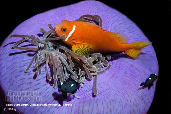 Anemone Fish . Faafu Atoll Filitheyo Diving