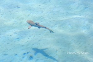 Baby Blacktip Reef Shark in the Maldives