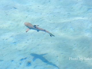 Baby Blacktip Reef Shark