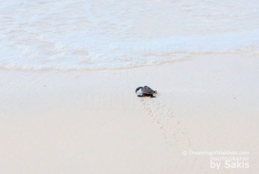 Photo of The Day : Precious Little Baby Turtle…Another Maldives Marine Wonder