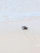 Baby sea turle reaching the sea in Maldives