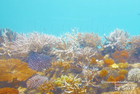 Name your very own Coral at Huvafen Fushi!