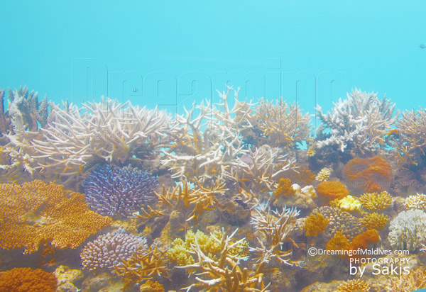 Coral garden at Huvafen Fushi Maldives. Coral reef Protection
