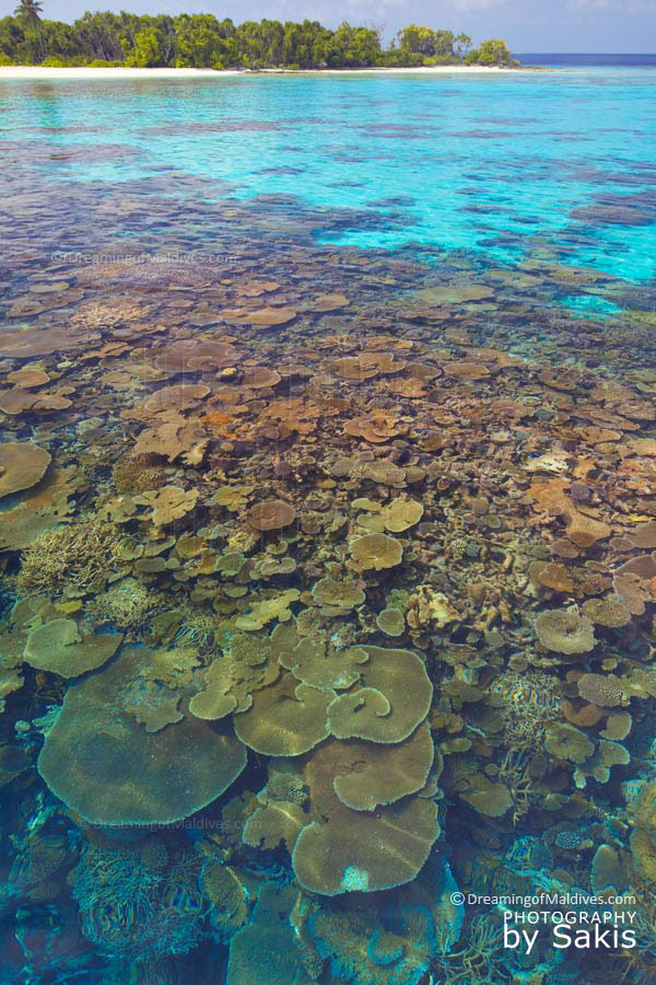 Some of the best snorkeling spots in the world are in Maldives. Here an amazing coral plate reef