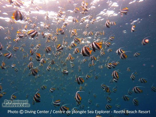 Longfin Bannerfishes Diving in Baa Atoll - Reethi Beach Resort Maldives