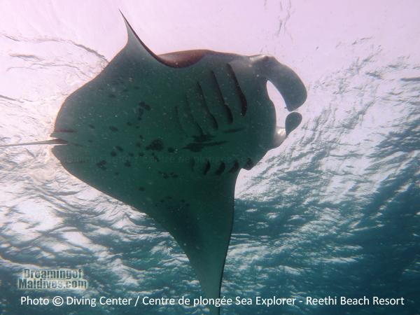 Seasonal Diving with Mantas in Baa Atoll - Reethi Beach Resort Maldives
