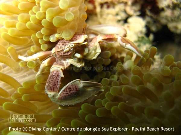 One of the many Beautiful little creatures encountered in Baa Atoll : An Anemon Crab Diving at Reethi Beach Resort Maldives
