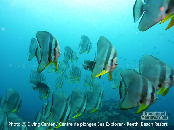 Surrounded by Batfishes- Diving at Reethi Beach Resort Maldives
