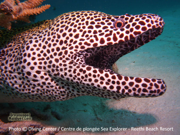 Black Spotted Moray Diving at Reethi Beach Resort Maldives