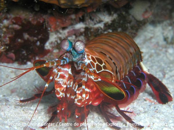 Mantis Schrimp Baa Atoll Diving at Reethi Beach Resort Maldives