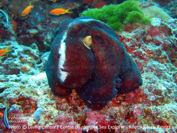 Beautiful Octopus Baa Atoll Diving at Reethi Beach Resort Maldives