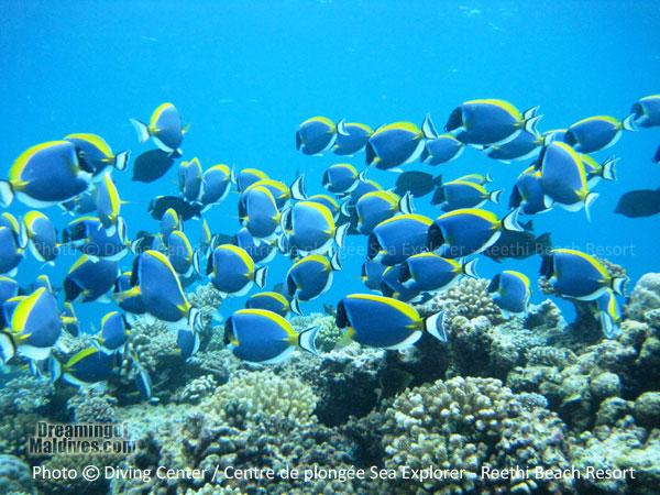 Surgeon Fishes Baa Atoll Diving at Reethi Beach Resort Maldives