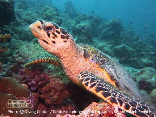Snorkeling with Turtles on Reethi Beach Resort reef Baa Atoll Maldives