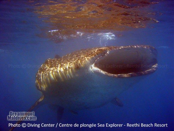 Baa Atoll has many Whale Shark Sanctuaries Diving at Reethi Beach Resort Maldives