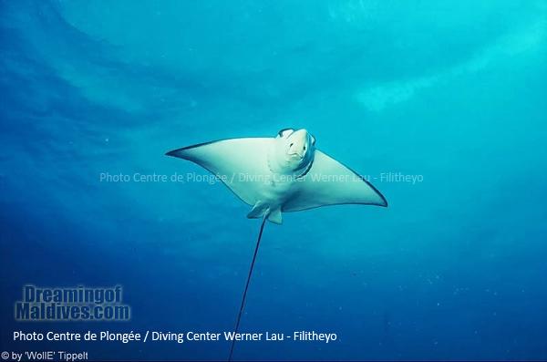 Eagle Ray - Faafu Atoll / Diving Filitheyo