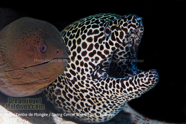 Couple of Moray Eel . Faafu Atoll, Filitheyo