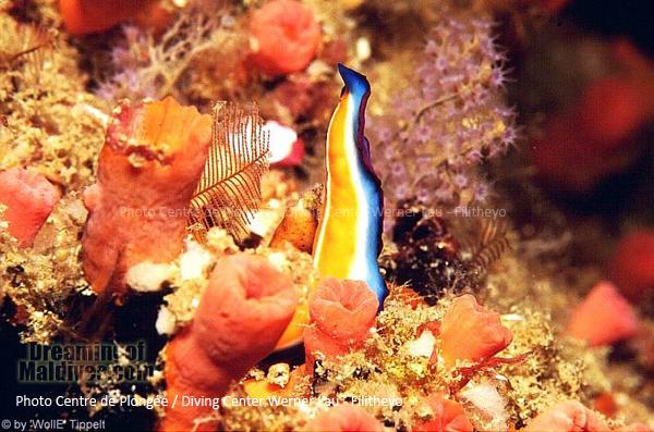 Nudibranch . Faafu Atoll, Filitheyo