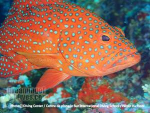 Maldives Reef fishes Diving in Noonu atoll. Hilton Maldives Iru Fushi