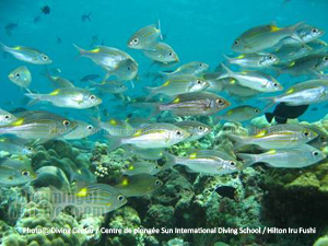 Maldives Reef fishes Diving in Noonu atoll. Hilton Maldives Iru Fushi