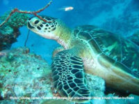 diving-maldives-turtle (Diving and Snorkeling at Iru Fushi, Noonu Atoll. Interview with Saeed, Dive Center Manager)