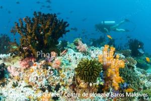 North Male Atoll- Coral Garden
