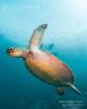 Turtles Amilla Maldives Baa Atoll