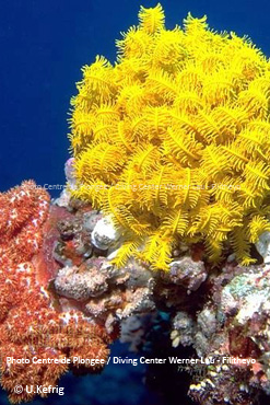 Colorful Coral Formation Diving in Faafu Atoll- Filitheyo