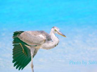 Grey Heron in Maldives